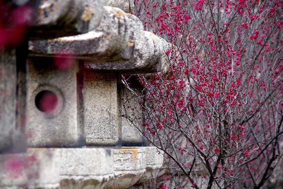 殿と墓マイラー・高伝寺の梅 5