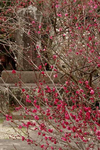 殿と墓マイラー・高伝寺の梅 7