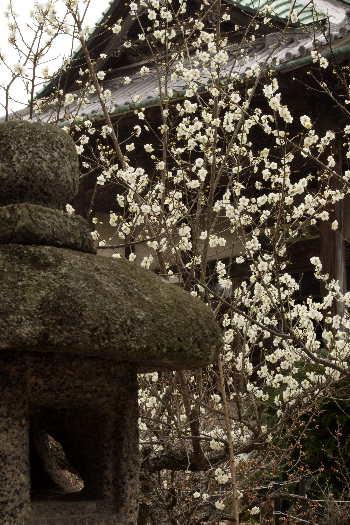 殿と墓マイラー・高伝寺の梅 13