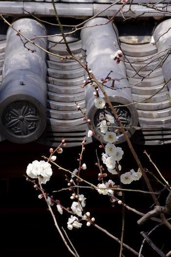 文字通り、梅林寺の梅2 4