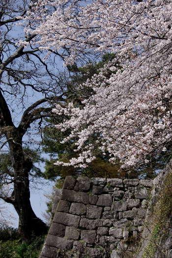 久留米城の桜5