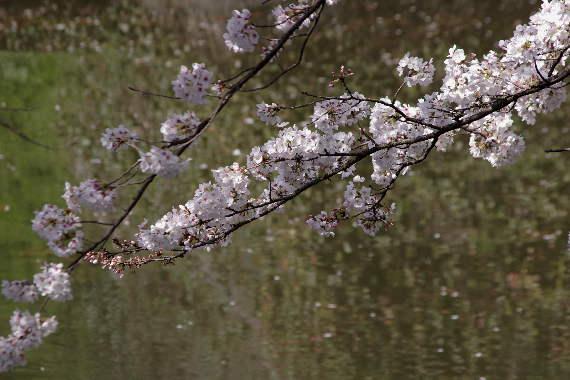 久留米城の桜4