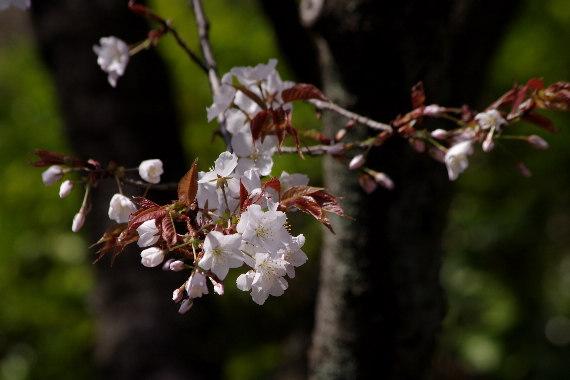 久留米城の桜6