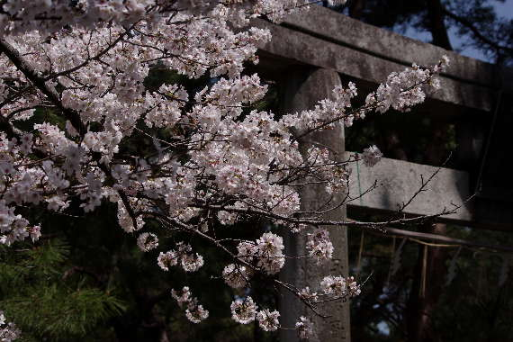 久留米城の桜7