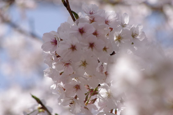 久留米城の桜8