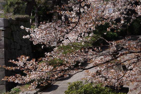 久留米城の桜10