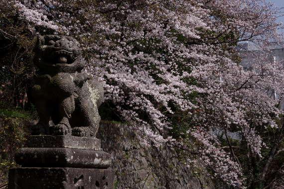 久留米城の桜2