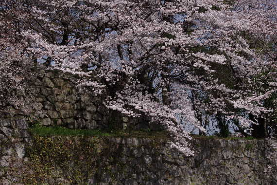 久留米城の桜1