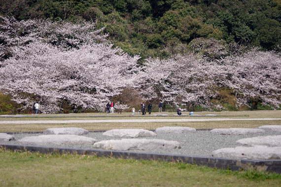 太宰府政庁跡の桜 2