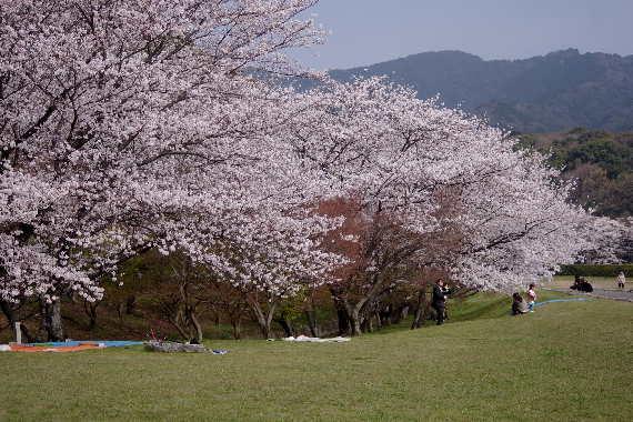 太宰府政庁跡の桜 3