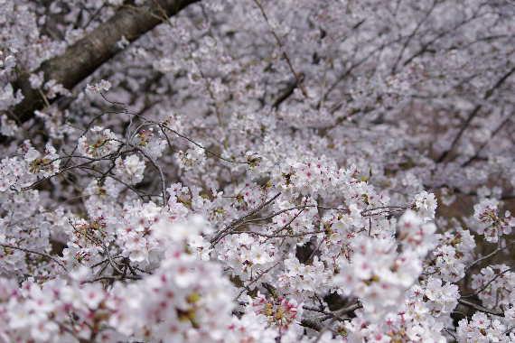 太宰府政庁跡の桜 4