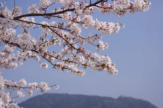 太宰府政庁跡の桜 5