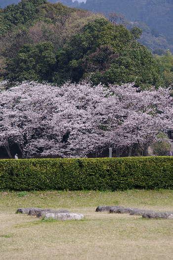 太宰府政庁跡の桜 6