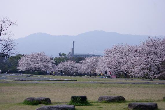 太宰府政庁跡の桜 1