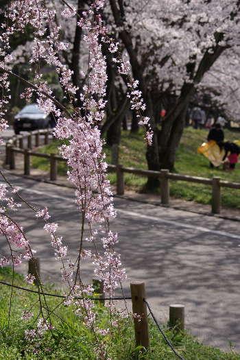 太宰府政庁跡の桜 8