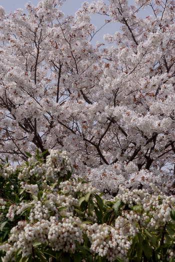 太宰府政庁跡の桜 10