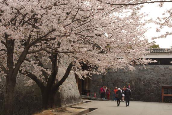 激LOVE!熊本城の桜1 4