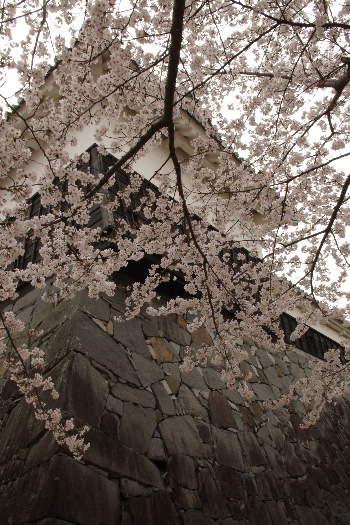 激LOVE!熊本城の桜1 5