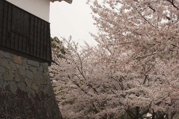 激LOVE!熊本城の桜1 6