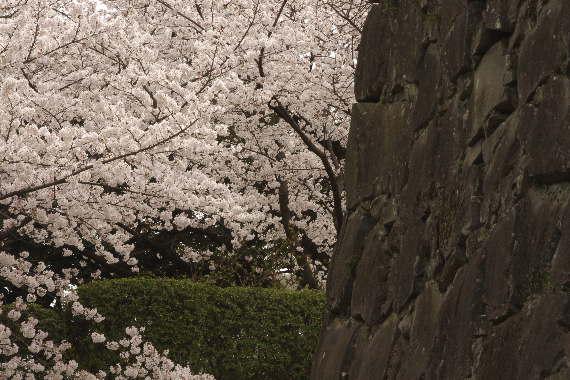 激LOVE!熊本城の桜1 8