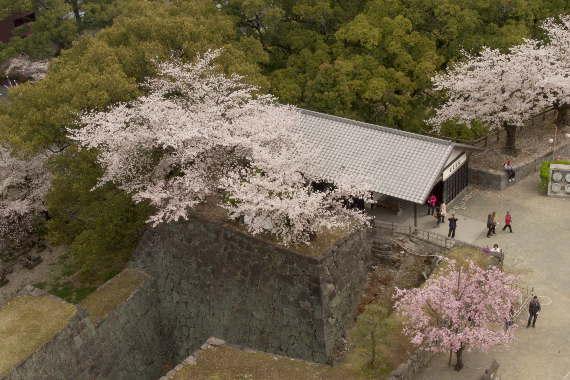 激LOVE!熊本城の桜2 3