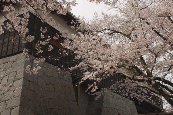 激LOVE!熊本城の桜2 6