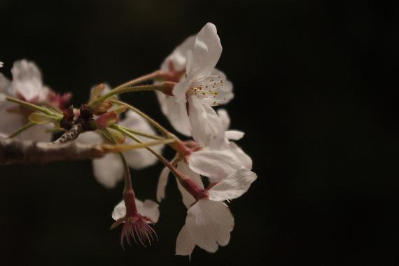 激LOVE!熊本城の桜2 7