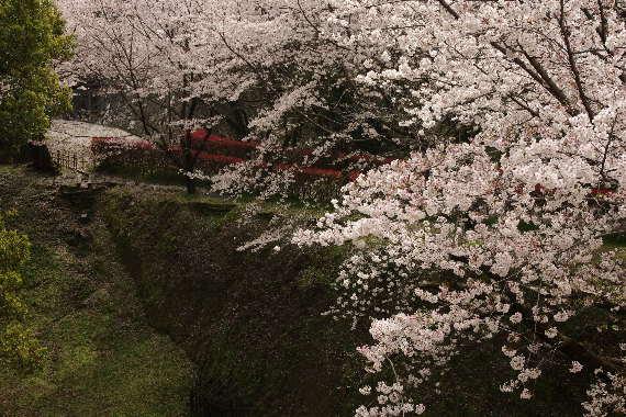 激LOVE!熊本城の桜2 4
