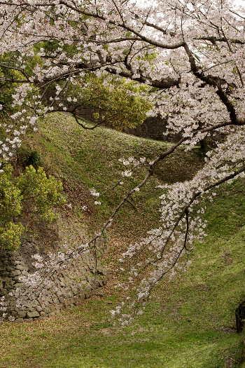 激LOVE!熊本城の桜2 5