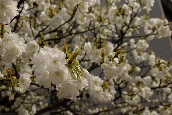 激LOVE!熊本城の桜1 2