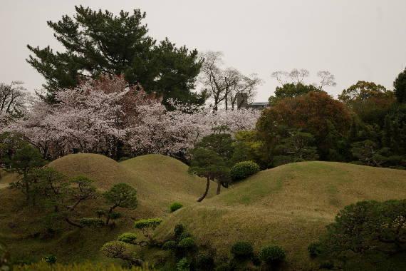 水前寺成趣園の桜4