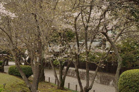 水前寺成趣園の桜6