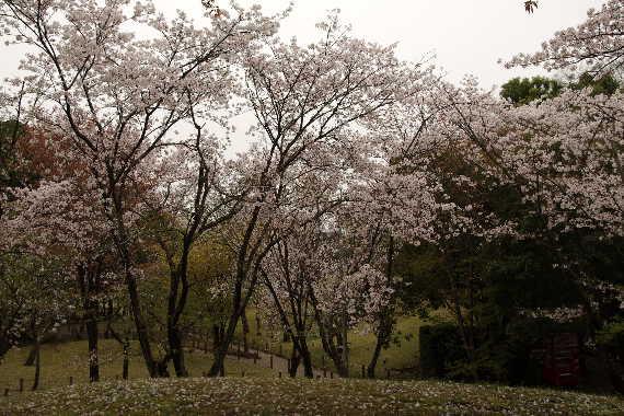 水前寺成趣園の桜7