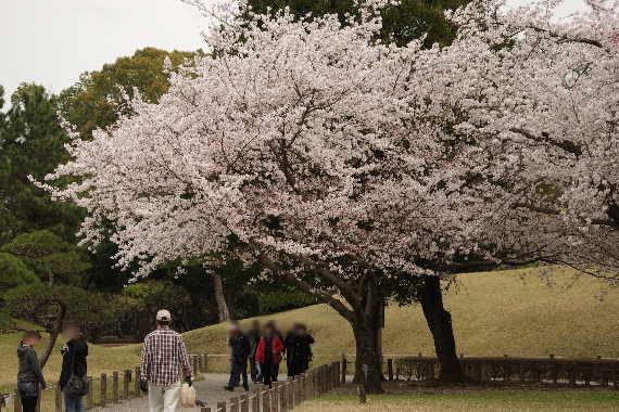 水前寺成趣園の桜8