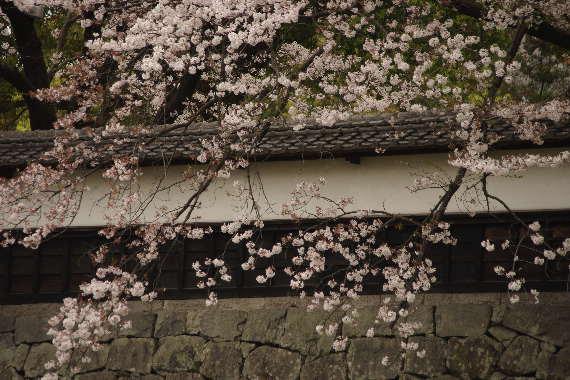 激LOVE!熊本城の桜2 9