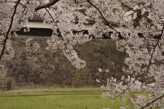 激LOVE!熊本城の桜2 10