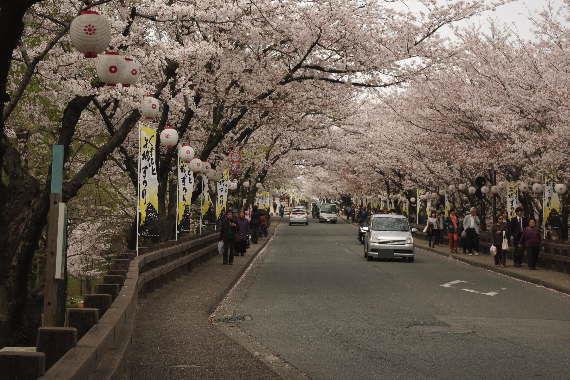 激LOVE!熊本城の桜1 3