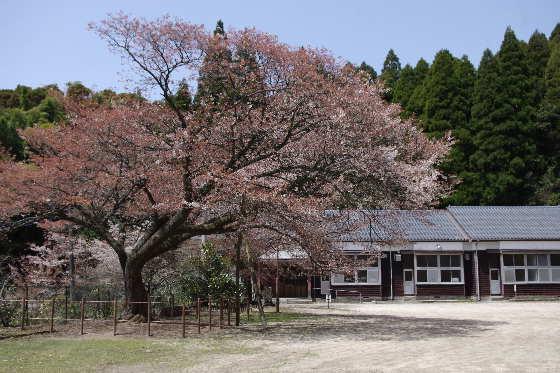 廃校の一本桜 1