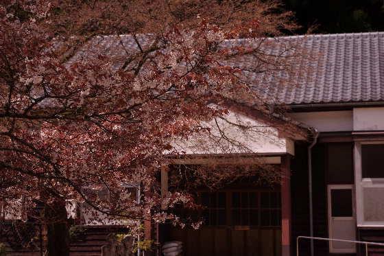 廃校の一本桜 4