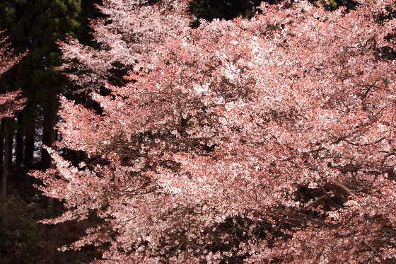 廃校の一本桜 3