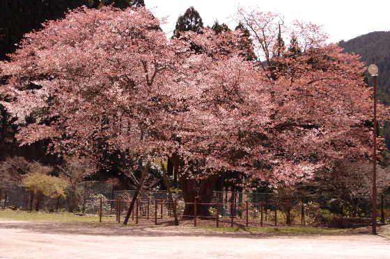 廃校の一本桜 2