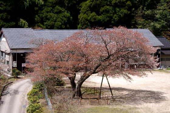 廃校の一本桜 7