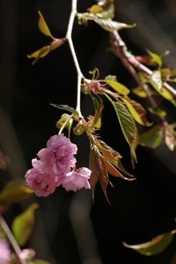 廃校の一本桜 6