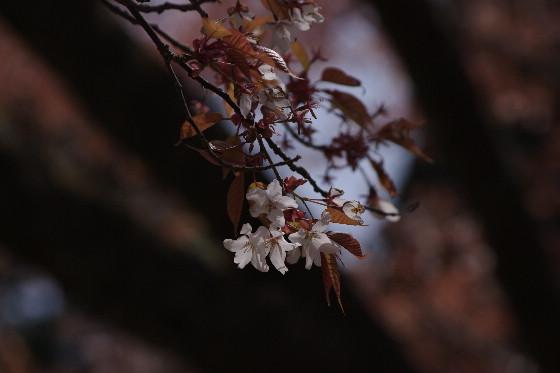 廃校の一本桜 5