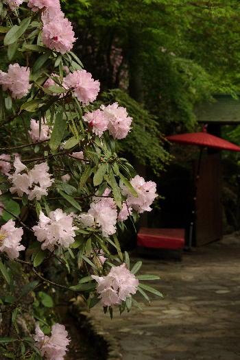 十可苑の春~シャクナゲ 1