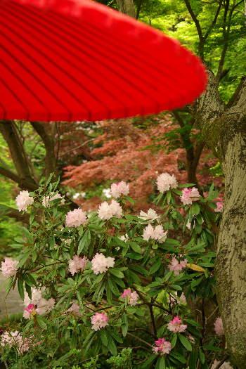 十可苑の春~シャクナゲ 2