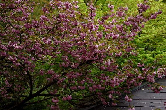 十可苑の春~八重桜2