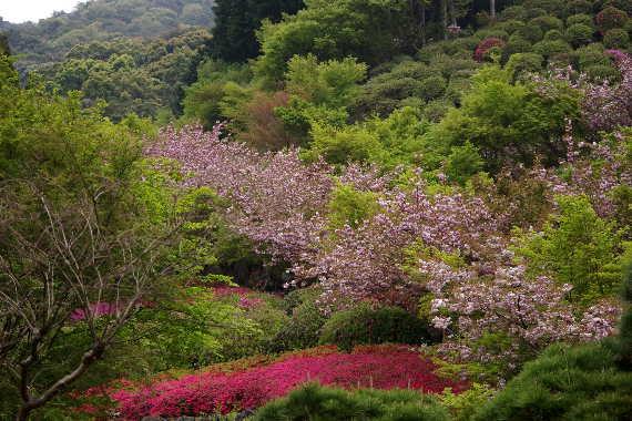 十可苑の春~つつじ 1