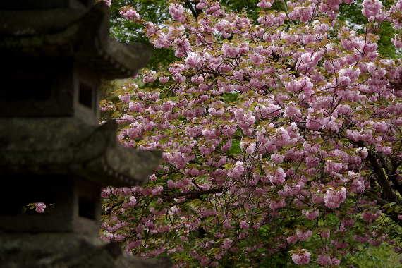 十可苑の春~八重桜3
