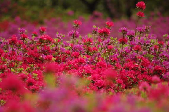 十可苑の春~つつじ 4